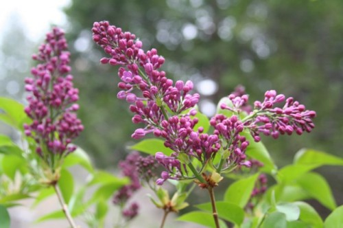 Mom's lilacs, grown from Omi's lilacs.