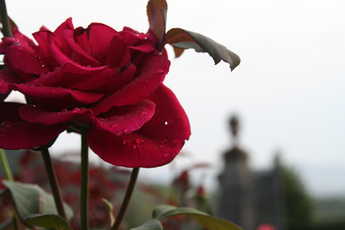 Villa Rospigliosi rose